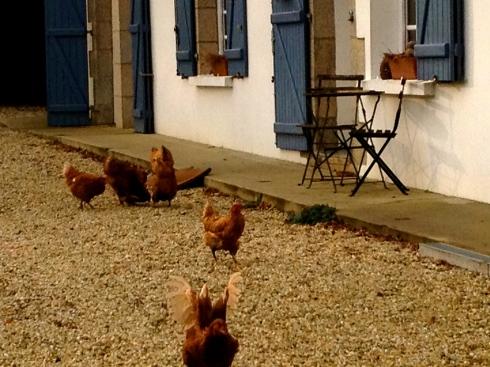 dagelijkse excursie van de kippen