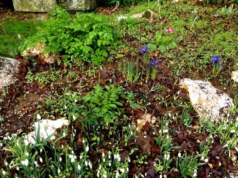 Het is hier al vier dagen op rij aan het stormen en waaien met windstoten tot 100 km/u. Maar daar trekken onze tuinbloemen zich niets van aan ! De sneeuwklokjes zijn er, de irissen, de sleutelbloemen. Het lijkt wel lente overdag en gure winter 's nachts. Ben blij dat ons dak er nog op staat na de windvlagen van afgelopen nacht !