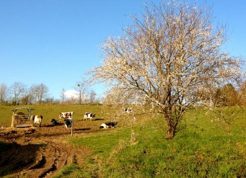 """""""Tarine"""", zo heet de koe die geslacht is. La Grange Paysanne de l'Oust is onze boterboerderij. Af en toe wordt er een melkkoe geslacht en dan krijgt iedere klant een bericht met de vraag of je een stuk van het beest wil. JA dat willen wij ! Weet wat je eet. Dat gaan we meteen doen, met onze """"steak haché Tarine"""" !"""