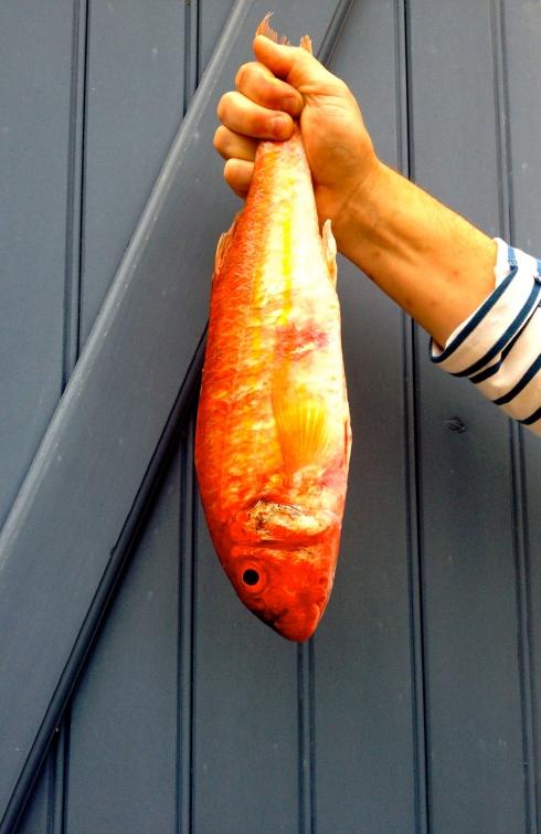 Het lijkt wel een mega grote goudvis deze mooie rouge barbet. In het Nederlands heet deze vis rode poon of mul. Bon appétit en groeten uit het zonnige Bretagne ! Anouck vanuit www.lamaisonblancheauxvoletsbleus.com.