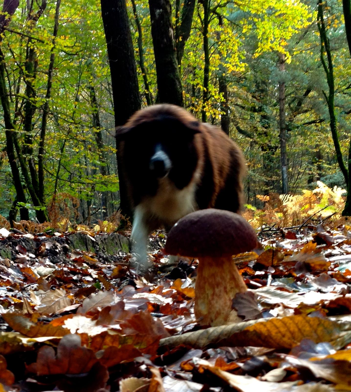 Zie je op de voorgrond die hele mooie champignon ? Die heeft Péluche ons aangewezen ! Smakelijk en geniet van jullie weekend.
