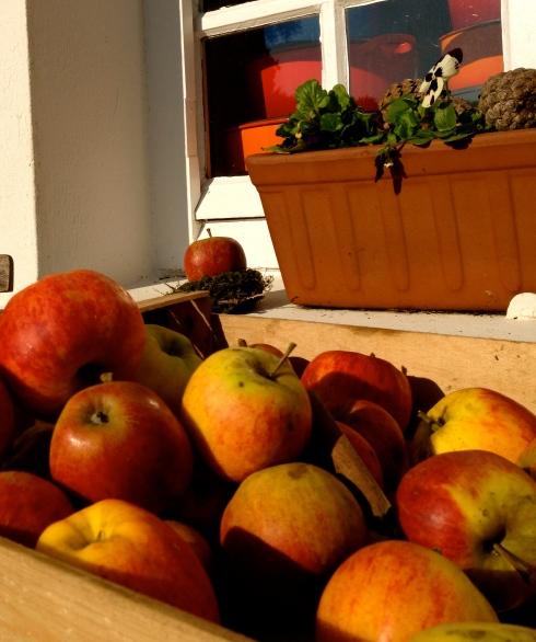 Onze appelbomen hangen bomvol. Enfin, nu niet meer, want ik ben de appels allemaal gaan plukken. Elstarcompote Elstargelei, Elstargebakjes. Dat wordt appelen schillen geblazen de komende dagen !