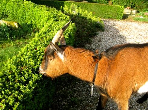 """Vanochtend vonden we een nieuwe gast in onze tuin :) ! Deze grote bok is ontsnapt uit de buur boerderij van Mr Barbu. Hij is hier komen aankloppen voor een job als """"jardinier"""" :) Zalig beest ! Leven in de brouwerij ! Geniet van de mooie zonnige dag, dat onze Jéremy ook (zo hebben we de bok gedoopt)."""