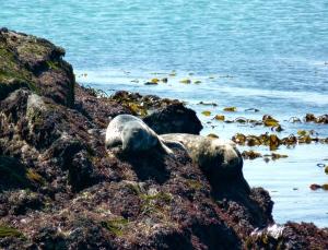 """Op """"les Sept Iles"""" die liggen voor de Côte de Granit Rose, kan je deze zeehonden en nog veel meer spotten. Mooie ontdekkingstocht !"""
